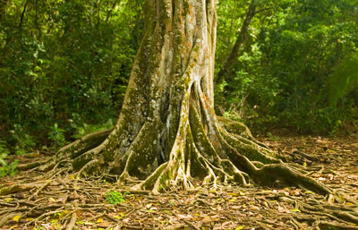 native forest tree trunk in uvita costa rica